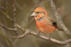Loxia curvirostra - Red Crossbill male. Sitting on the perch Stock Images