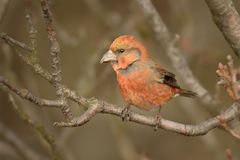 Loxia curvirostra - Red Crossbill male sitting. On the perch Stock Image