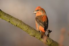 Loxia curvirostra - Red Crossbill sitting on the perch. Male Stock Images