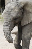 loxodonta ελεφάντων africana της Αφρική&sigmaf Στοκ εικόνα με δικαίωμα ελεύθερης χρήσης