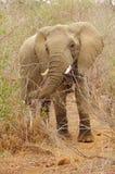 loxodonta африканского слона Стоковые Фото