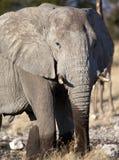 loxodonta Намибия слона africana Стоковые Изображения