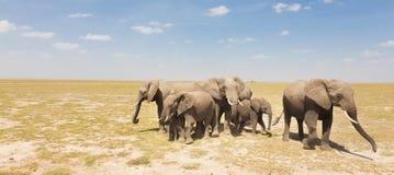 Loxodonta africana, African bush elephant. Royalty Free Stock Image