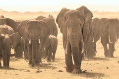 Loxodonta africana, African bush elephant. Stock Photos