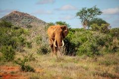 Loxodonta africana africano dell'elefante del cespuglio che cammina dal cespuglio e immagini stock libere da diritti