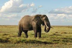 Loxodonta africana africano dell'elefante del cespuglio, parte inferiore della sua b fotografia stock