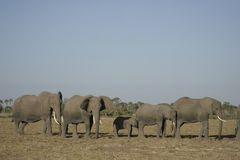 Loxodonta africana degli elefanti africani, Ndovu o Tembo e tramonto africano sulla savanna africana Immagini Stock Libere da Diritti