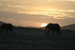 Loxodonta africana degli elefanti africani, Ndovu o Tembo e tramonto africano sulla savanna africana Fotografia Stock