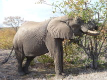Loxodonta africana dell'elefante africano Fotografia Stock