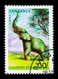 Loxodonta africana dell'elefante africano, serie, circa 1991 Fotografie Stock