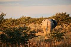 Loxodonta africana dell'elefante fotografato da dietro fotografia stock libera da diritti