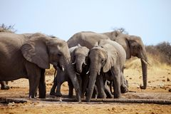 Loxodonta africana, in Etosha National Park in Namibia Royalty Free Stock Photo