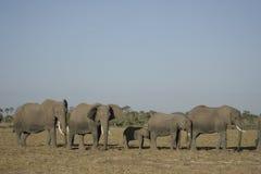 Loxodonta för afrikanska elefanter Africana, Ndovu eller Tembo och afrikansk solnedgång på den afrikanska savannet Royaltyfria Bilder