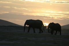 Loxodonta för afrikanska elefanter Africana, Ndovu eller Tembo och afrikansk solnedgång på den afrikanska savannet Royaltyfri Foto