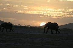Loxodonta för afrikanska elefanter Africana, Ndovu eller Tembo och afrikansk solnedgång på den afrikanska savannet Arkivbild