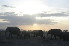 Loxodonta för afrikanska elefanter Africana, Ndovu eller Tembo och afrikansk solnedgång på den afrikanska savannet Arkivbilder