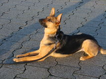 Loyal and attentive dog - german shepherd dog Royalty Free Stock Photos