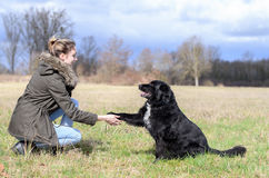 Loyal black dog offering its paw to its owner stock images