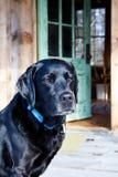 Loyal Black Labrador Dog. Waiting at home for his owner Royalty Free Stock Photos