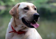 Loyal companion. Outdoor portrait of a Yellow Labrador Retriever Royalty Free Stock Photography