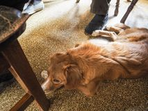 Loyal dog lying beneath the table. Between the feet of his owners Stock Photography