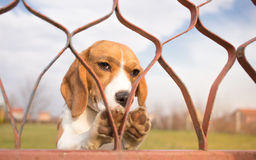 Loyal Dog Wait For Owner Images libres de droits