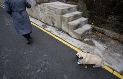 Loyal dog walking behind a senior adult woman. Stock Photo