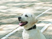Loyal friend. White labrador puppy sitting, waiting orders from the owner Stock Photography
