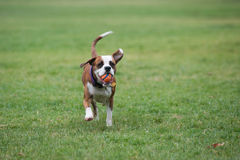 Loyal friend eager to play fetch Royalty Free Stock Photography