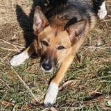 Loyal German Shepherd Dog. A closeup headshot of a loving loyal German Shepherd Alsation dog looking up with beseeching eyes royalty free stock photos