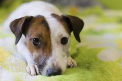 Loyal un chien Photo stock