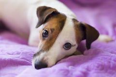 Loyal un chien Photo libre de droits