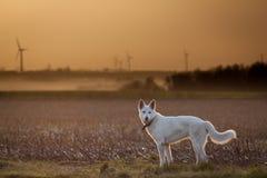 Loyal White Shepherd. White shepherd looking at his owner while walking at dusk Royalty Free Stock Image