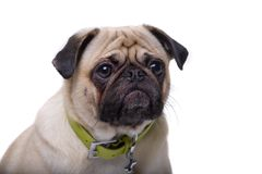 Loyalty. Pug staring at camera and begging for attention.  Isolated on white Stock Image