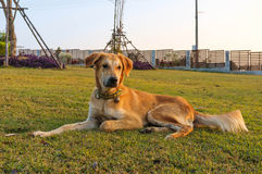 Loyalty Dog Royalty Free Stock Photos