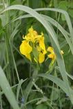 Lozhnoairovy Blühen der Iris (Iris pseudacorus L etwas körniges) Stockbilder