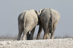 Éléphant africain, africana de Loxodonta Image libre de droits