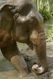 Éléphant asiatique Image stock