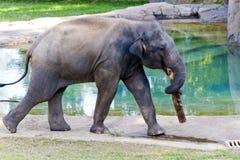 Éléphant asiatique dans le zoo Images stock