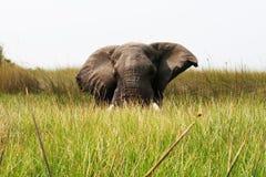 Éléphant caché Photographie stock