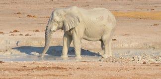 Éléphant couvert dans la boue blanche Photo libre de droits