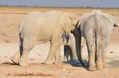 Éléphant couvert dans la boue blanche Photo stock