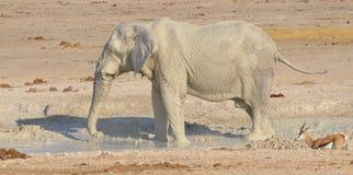 Éléphant couvert dans la boue blanche Image stock
