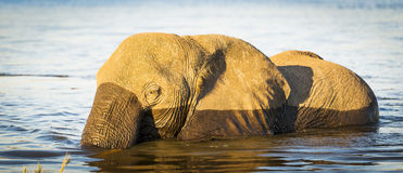 Éléphant de parc national de Chobe Photo stock