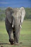 Éléphant déterminé Photographie stock