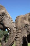 Éléphants africains Image stock