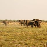 Éléphants africains Photographie stock