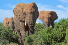 Éléphants africains Photo stock