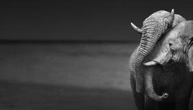 Éléphants agissant l'un sur l'autre Image stock
