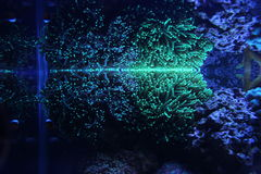 LPS da tocha de Euphyllia corais Fotografia de Stock Royalty Free